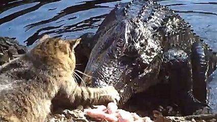 The Bravest Cat in the World?