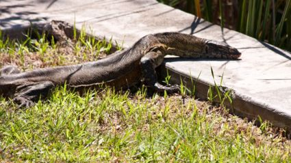 8-Foot-Long Carnivorous Cat-Eating Lizards Are Invading Florida