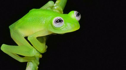 This Bright Green Frog Has Gone Viral For One AWESOME Reason!