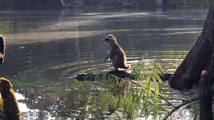 Man Captures Photo Of Raccoon 'Riding An Alligator'