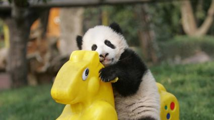 Panda Daycare Will Melt Your Heart