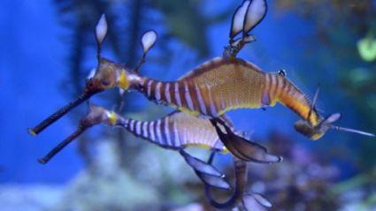 Dance of the Seadragons