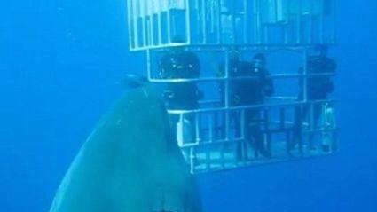 Biggest Great White Shark Ever?
