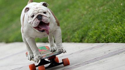 Otto The Skateboarding Bulldog Makes The Guinness World Records