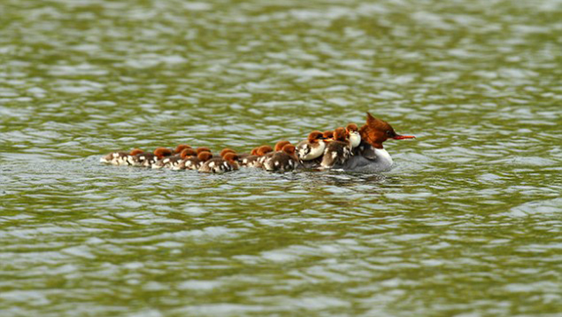 Mother Duck Takes Her 16 Ducklings On A Back Ride