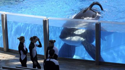 SeaWorld's Killer Whale, Tilikum, Has Serious Illness