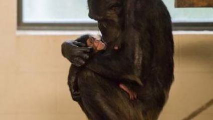 What Would You Name This Baby Chimp?