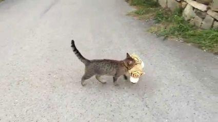 Cat Vs Tiger: No Contest