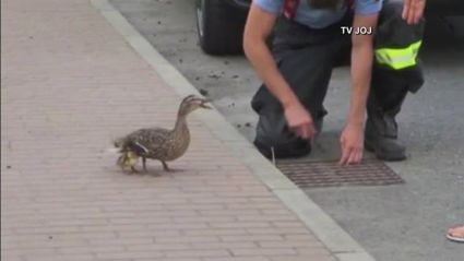 Mama Duck Asks Firefighters To Rescue Her Ducklings