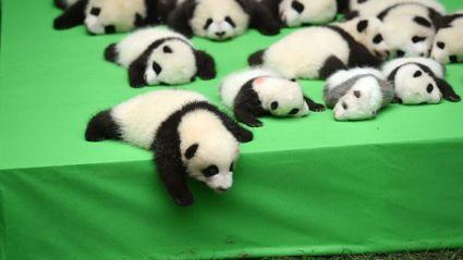 23 Baby Pandas