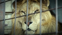Big cats beautiful reaction to being freed from a circus