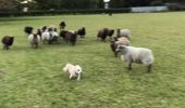 World's Worst Sheepdog?
