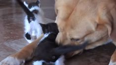 Watch the heartwarming moment this dog adopts a litter of stray kittens