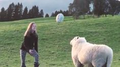 Rugby-playing sheep gains attention around the world