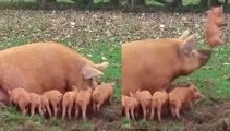 Adorable little piglet gets launched