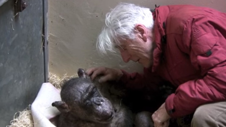 Watch the beautiful moment this dying chimp recognises her old carer