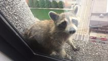 This raccoon has gone viral for the most heart warming yet crazy reason!