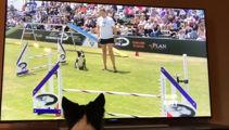 Border Collie watches herself win