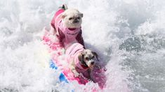 Dogs show off their surfing skills at the annual Surf City Surf Dog Competition
