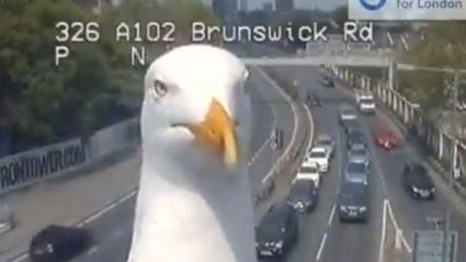 WATCH: Seagulls go viral after hilariously photobombing London's traffic cameras