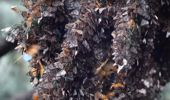 Video showing the MAGICAL sound of millions of butterflies taking flight at the same time goes viral
