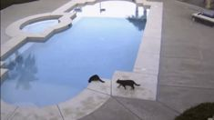 Security footage shows the hilarious moment a cat scares another cat into jumping in a pool