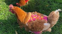 Two Kiwi chickens go viral after wearing winter jerseys to keep warm