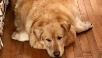 Overweight rescue dog loses 45kg after original owner demanded the vet put him down
