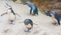 """New Zealand Aquarium goes viral with their """"Naughtiest Penguin Of The Month"""" award"""
