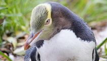 NZ's Bird of the Year for 2019 is... the Yellow-eyed penguin!