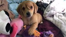 """Rescued """"unicorn"""" puppy with second tail on his head captures hearts around the world"""