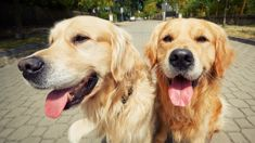 Recruitment agency offering $62,000 to look after two dogs and live in upscale London suburb