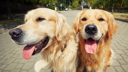 Job involves looking after two golden retrievers / Getty