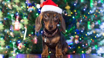 Man dresses his 17 dachshunds in festive jumpers for the BEST Christmas photo