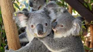 Thousands of Kiwis sign petition for koalas to be introduced to New Zealand following wildfires