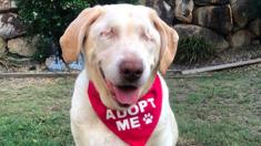 This elderly, blind Labrador has stolen the internet's heart!