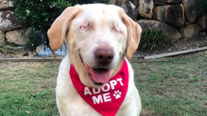 Dumpling has won the hearts of many on Facebook / Labrador Rescue