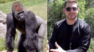 Michael Buble performs a private concert for... Gorillas?