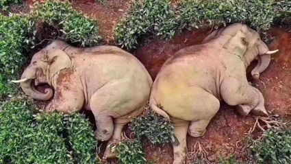 A group of audacious Elephant's sneak into field to get drunk off 30kg of wine!