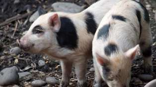 Police are sent on a wild pig chase lasting almost an hour