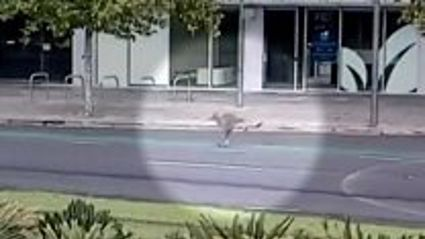 Kangaroos are running loose through Australian cities as all the Aussies stay Inside