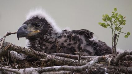 A white-tailed eagle chick. (Dan Kitwood/Getty Images)