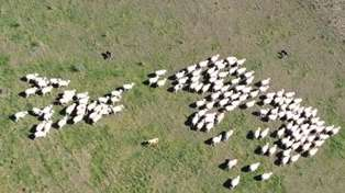 A new Robot is Wandering the Fields of New Zealand, Hearding Sheep!