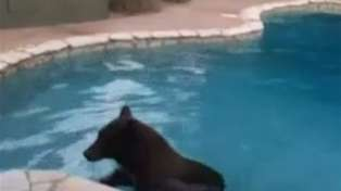 Bear takes a Dip in Swimming Pool during Heat Wave!