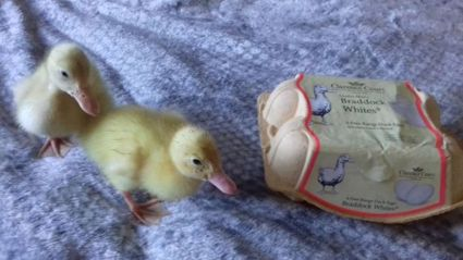 Woman hatches ducklings from Waitrose eggs