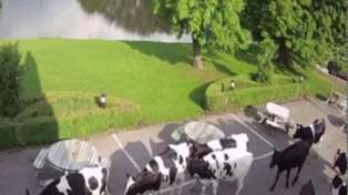 Cows take over beer garden at closed restaurant and hotel