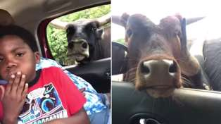 Family has hilarious freakout over cows at drive-thru zoo
