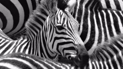 This zebra optical illusion has left the internet divided ... which one is looking at the camera?